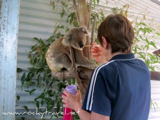 Koalafeeding1