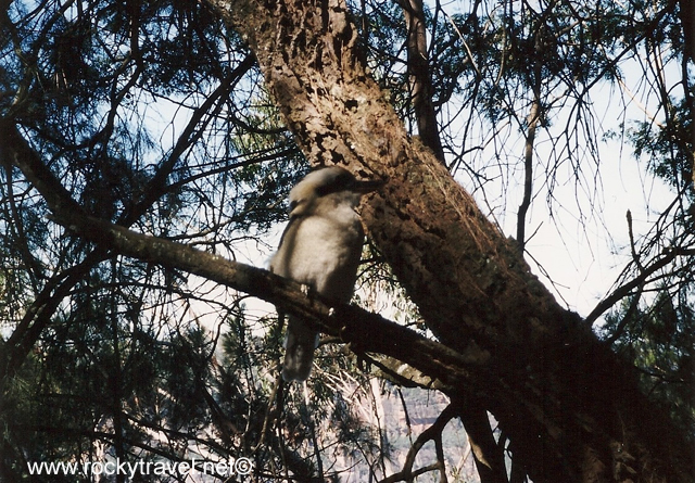 kookaburrabluemt_copia
