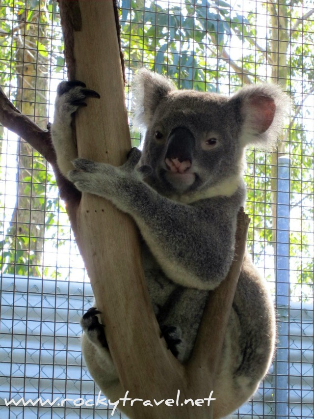 Save the Koalas in Australia
