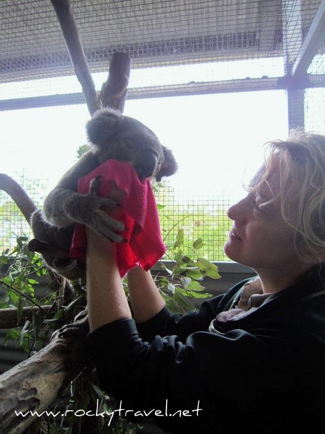 KoalaFeeding7