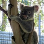 Help Save the Koalas