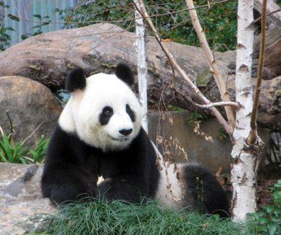 PandaAdelaideZoo