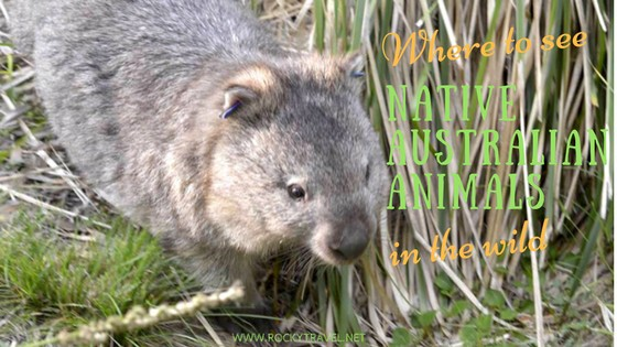 see native australian animals in the wild