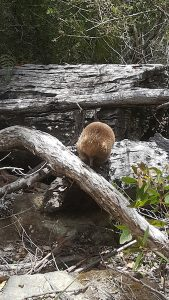 Spotting an echidna on the Three Capes Track